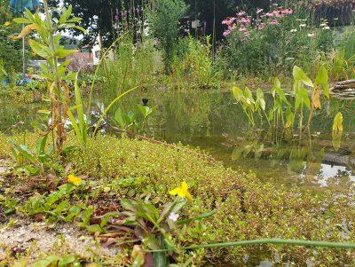 Teichpflanzen Naturteich