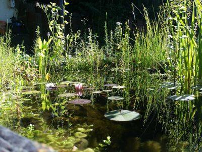 Teichpflanzen Teichufer